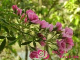 Hoa hồng leo MACspice