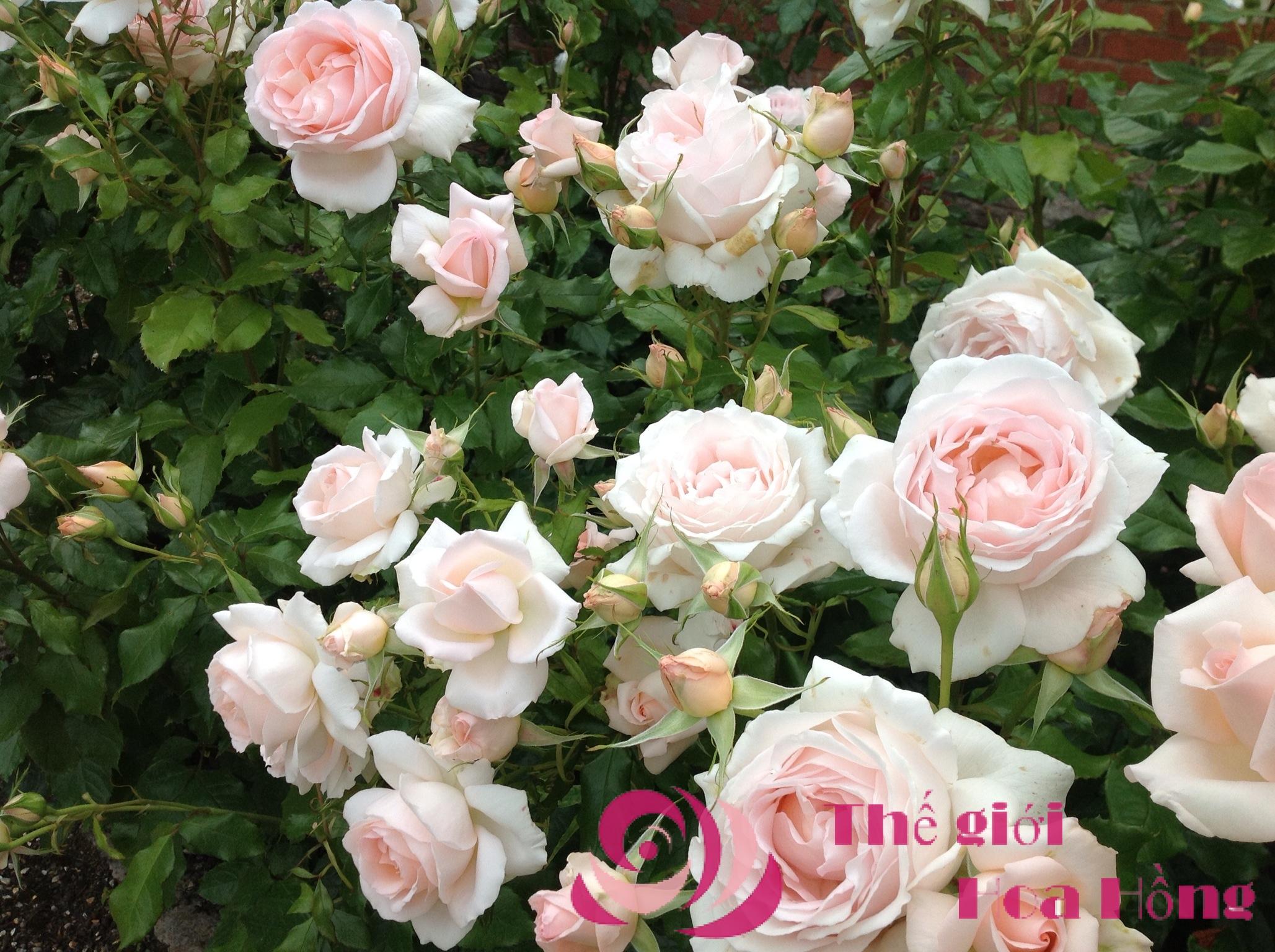Hoa hồng leo Chandos Beauty