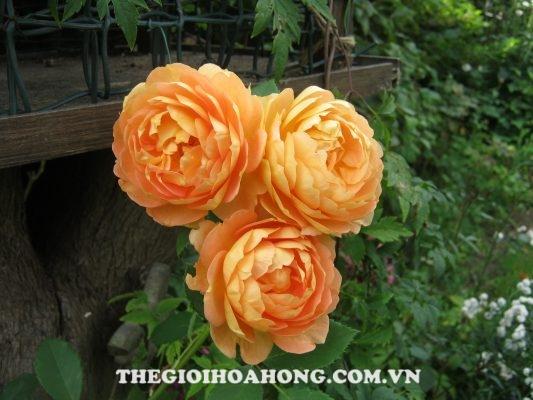 5 loại hoa hồng leo được yêu thích nhất hiện nay (2)