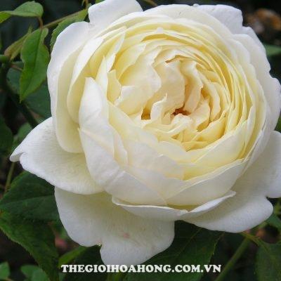 5 loại hoa hồng leo được yêu thích nhất hiện nay (4)