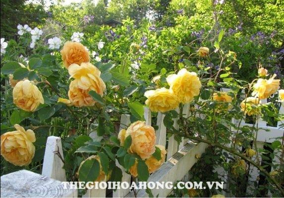 5 lý do bạn không thể bỏ qua hoa hồng leo Thái Lan (1)