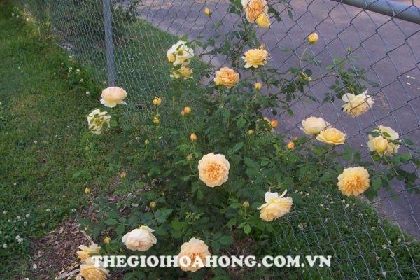 5 lý do bạn không thể bỏ qua hoa hồng leo Thái Lan (2)