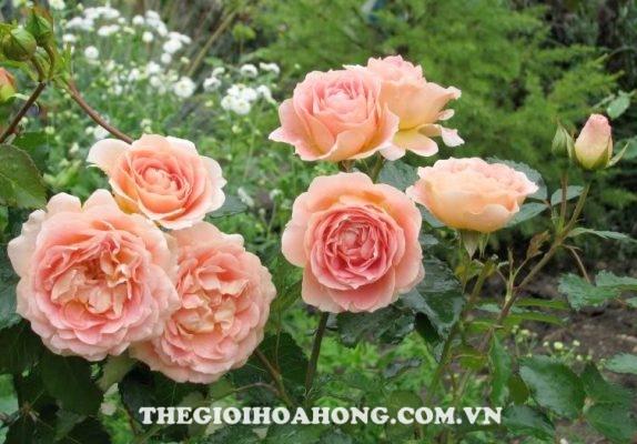 5 lý do bạn không thể bỏ qua hoa hồng leo Thái Lan (3)