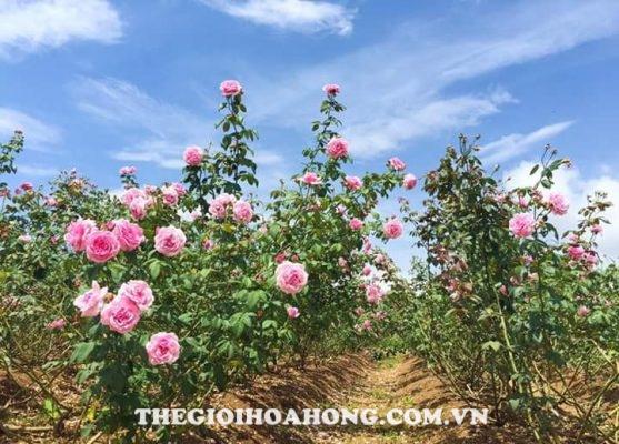 5 lý do bạn không thể bỏ qua hoa hồng leo Thái Lan (4)