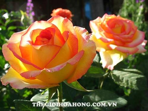 Hoa hồng tree rose ambiance