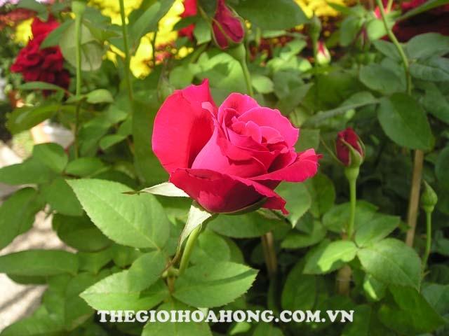 Phân bón lá cho cây hồng