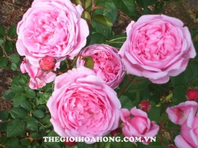 hoa hồng Bishop Castle