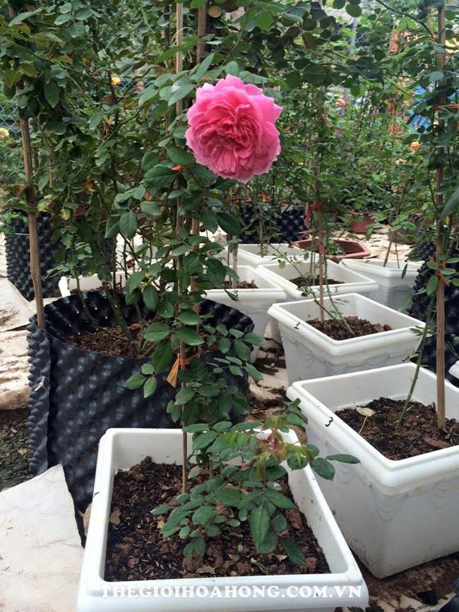 Cách thay chậu và tưới nước cho cây hồng