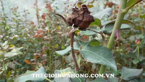 phun phân bón lá khi cây hồng đang bệnh