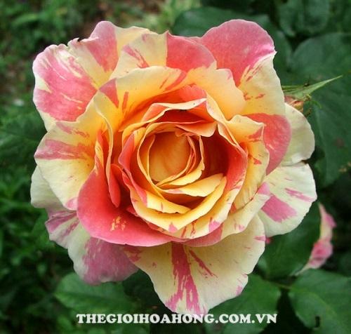 hoa hồng claude monet tree rose