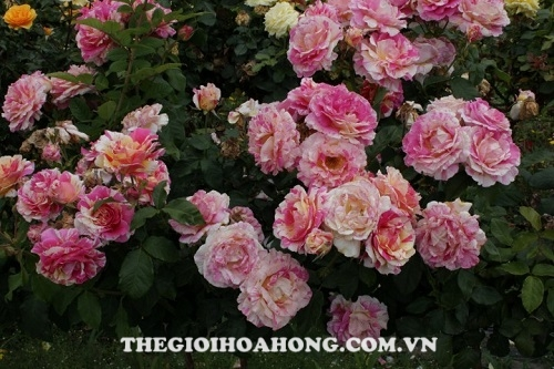 Hoa hồng claude monet tree rose