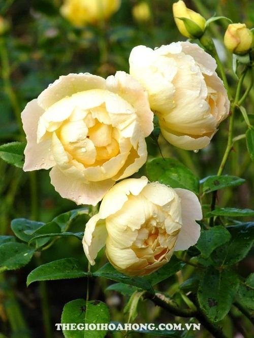 Hoa hồng tree rose comtes de champagne