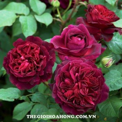 David Austin – ông vua của hoa hồng (3)