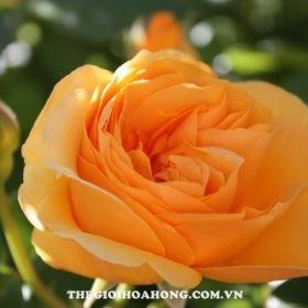 Hoa hồng fair tree rose