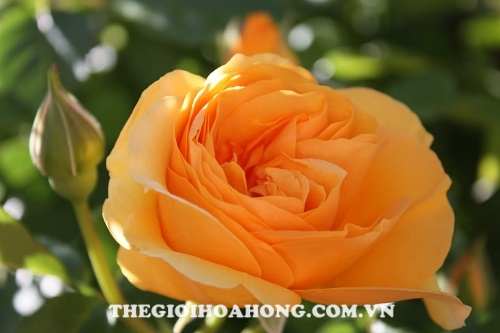 Hoa hồng fair tree rose
