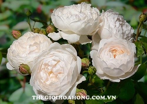 Hoa hồng tree rose glamis castle rose
