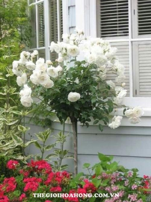Hoa hồng tree rose glamis castle tree rose