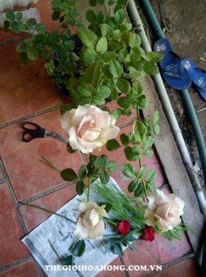 Ghép hồng nhung Đà Lạt lên hồng Sa Đéc