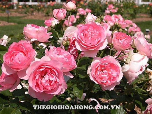 Hành trình tìm phân dơi nguyên chất cho cây hồng