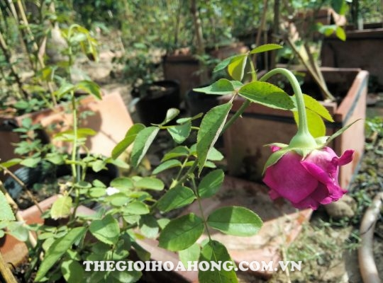 Hậu quả từ việc bón phân dư thừa cho cây hồng