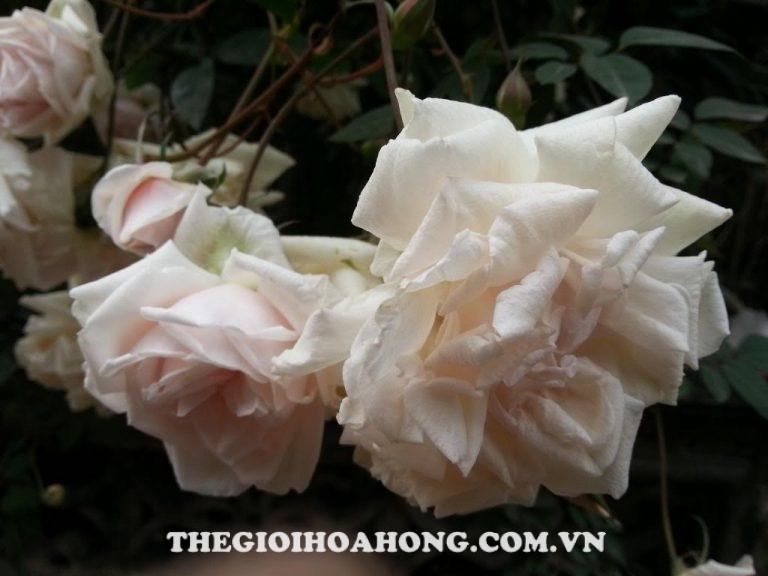Hoa-hồng-đào-cổ-2