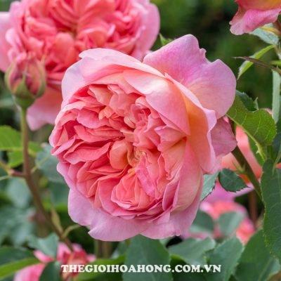 Hoa hồng Boscobel David Austin