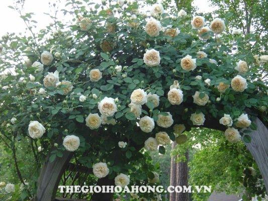 Hoa hồng Claire Austin Rose