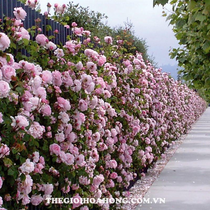 Hoa hồng Constance Spry