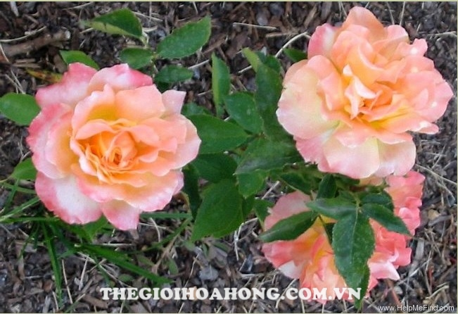 Hoa hồng Tree Rose Grand Impression