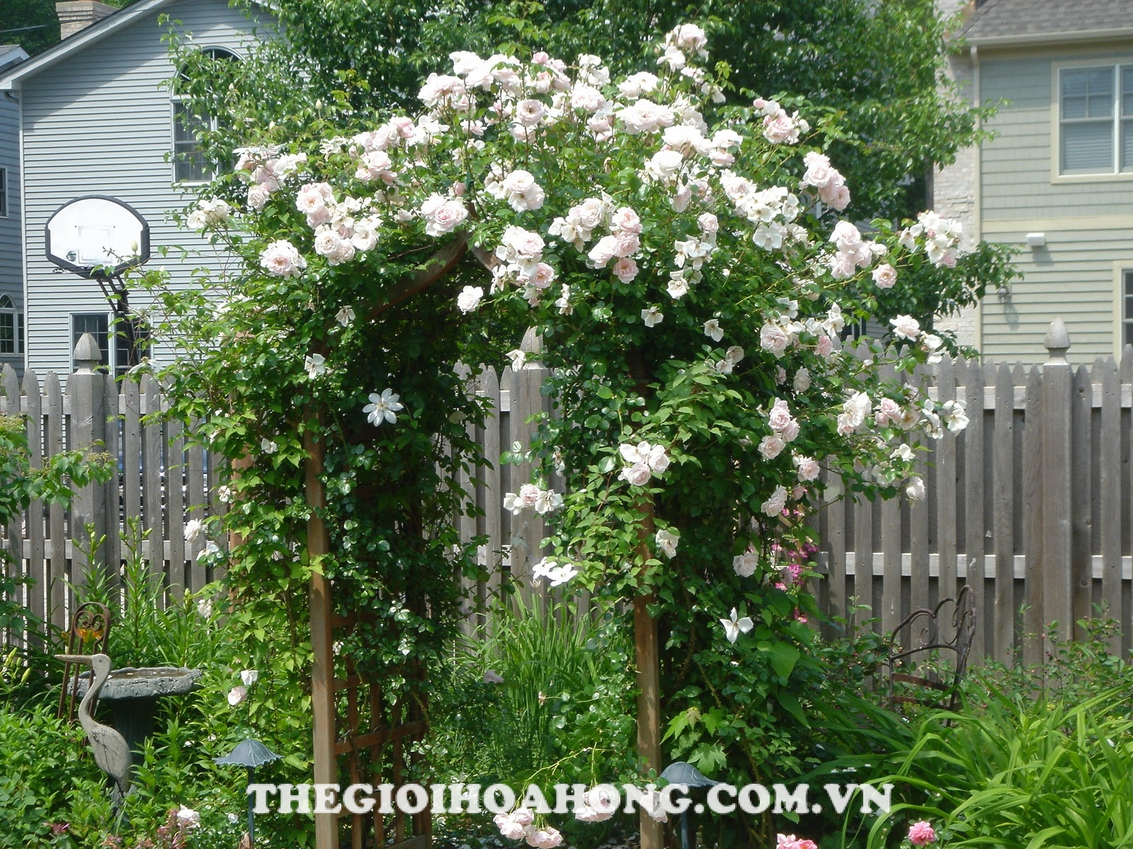 Hoa hồng Tree Rose Maria Theresa
