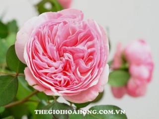 Hoa hồng Tree Rose Maria Theresa