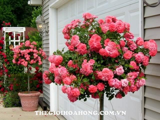 Hoa hồng Tree Rose Red Cap