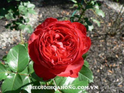 Hoa hồng Tree Rose TraviataHoa hồng Tree Rose Traviata