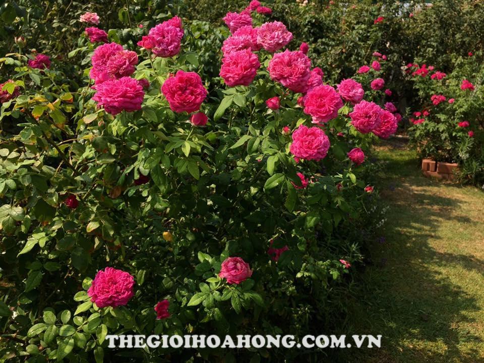 Hoa hồng Tree Rose William Shakespeare 2000