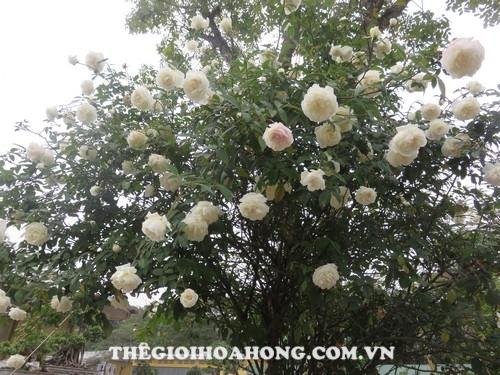 hoa hồng bạch cổ