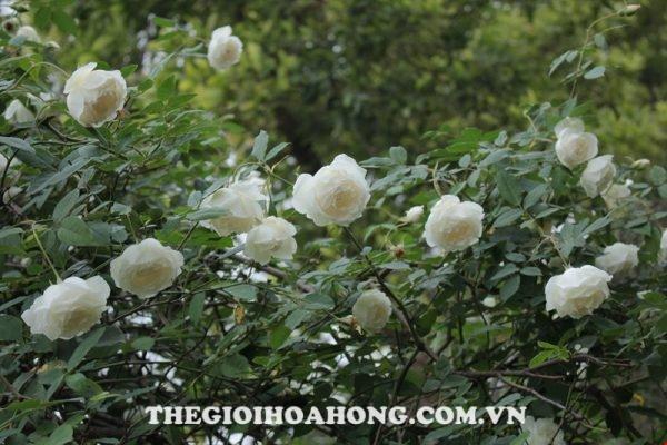 Hoa-hồng-bạch-cổ-3
