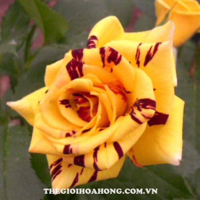 Hoa hồng bụi Abracadabra