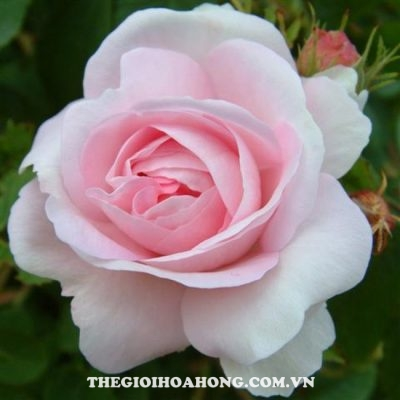 Hoa hồng bụi Beverly