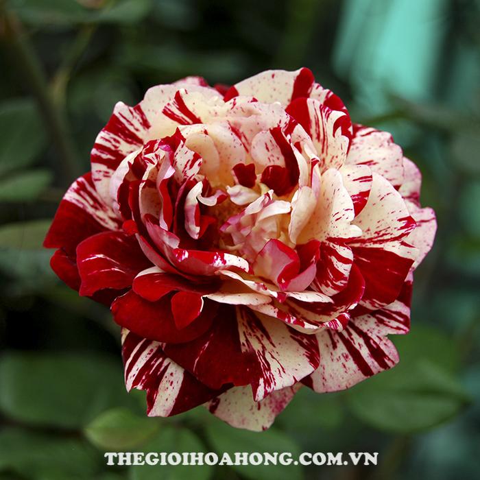Hoa hồng bụi Camille Pissarro