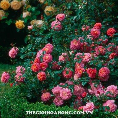 Hoa hồng bụi Christopher Marlowe
