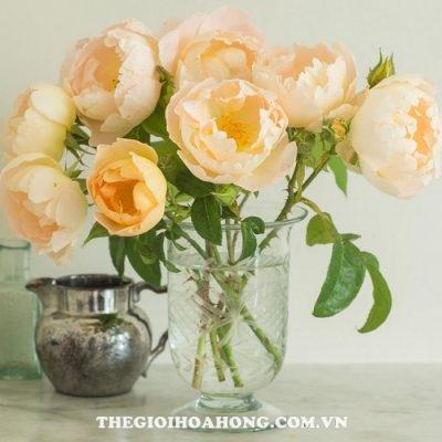Hoa hồng bụi Comte De Champagne