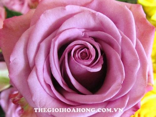 Hoa hồng bụi Cool Water