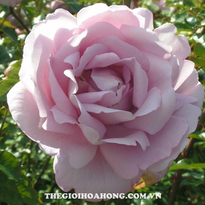 Hoa hồng bụi Du Petit Prince