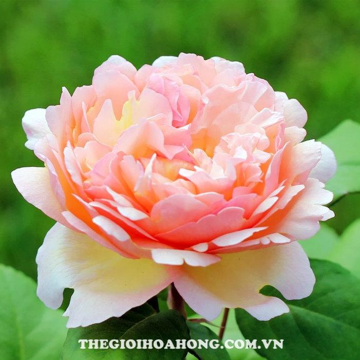 Hoa hồng bụi Duftjuwel