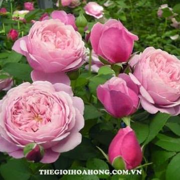 Hoa hồng bụi Eckart Witzigmann