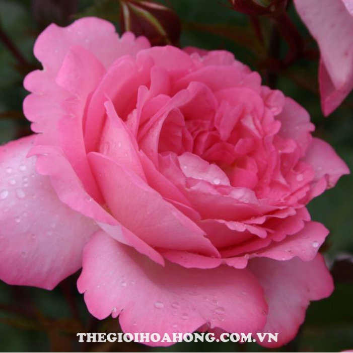 Hoa hồng bụi Eliza