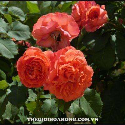 Hoa hồng bụi Emilien De Guillot