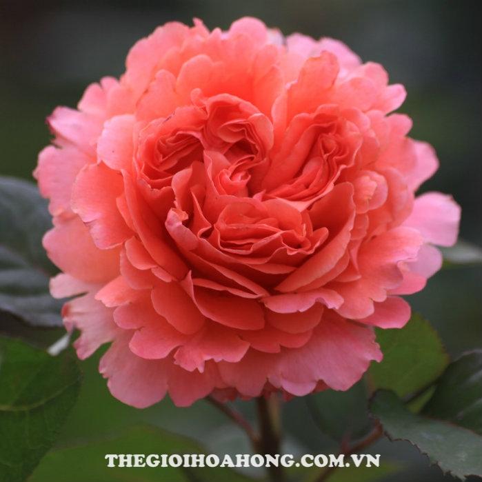 Hoa hồng bụi Estruca