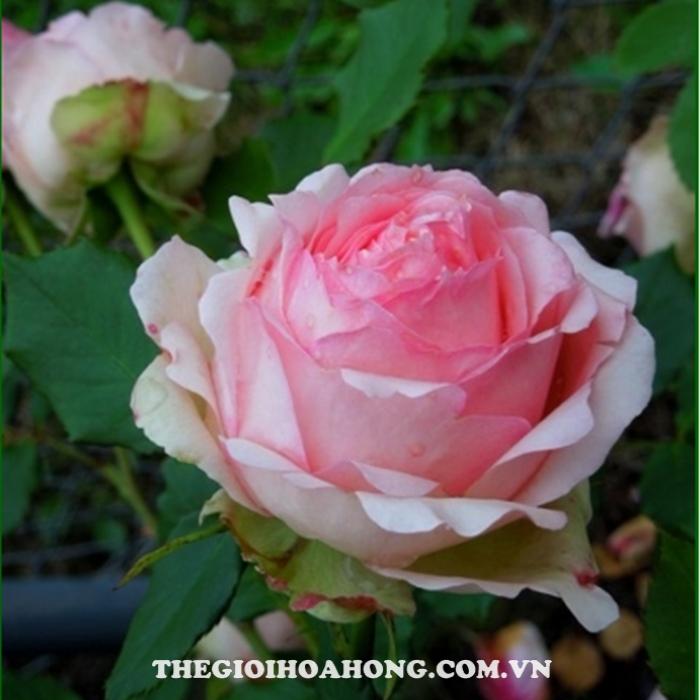 Hoa hồng bụi First Lady