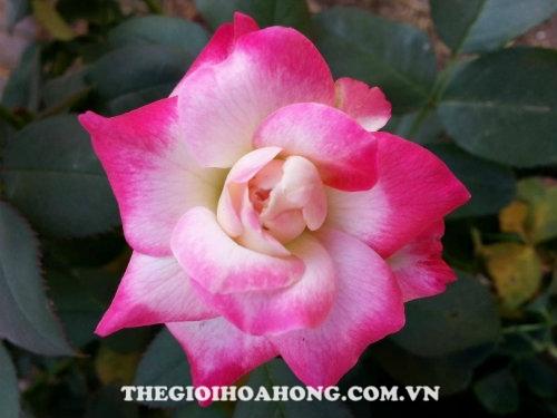 Hoa hồng bụi Headliner
